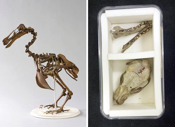 Collage : un squelette de dronte assemblé; le crâne et la mâchoire d'un tigre de Tasmanie disposés dans une boîte de collection.
