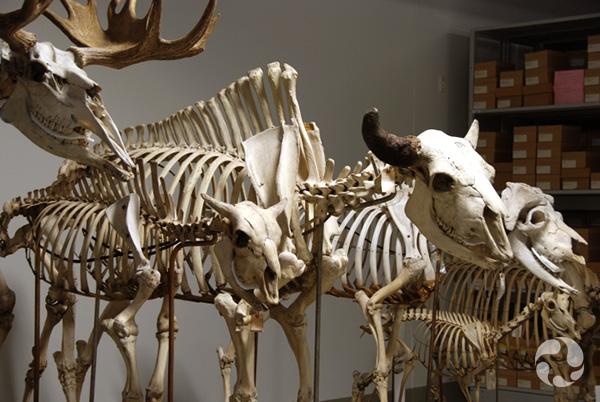 Divers squelettes d'ongulés assemblés et disposés en rangée dans une salle de conservation du Musée.