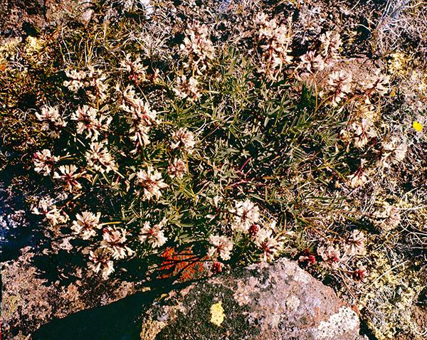 Des plants d'astragale australe en fleurs (diapo d'archive S78-262).