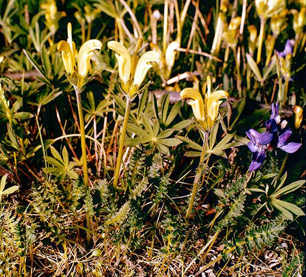 Une pédiculaire capitée en fleurs (diapo d'archive S78-304).