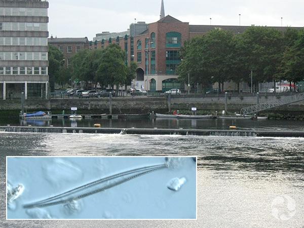 Collage : un quai au bord d'une rivière dans une ville et la photo au microscope d'une diatomée.