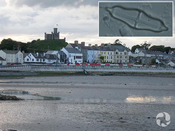 Collage : une baie dans une ville, à marée basse, et la photo au microscope d'une diatomée.