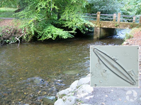 Collage : une rivière coulant sous un pont et la photo au microscope d'une diatomée.