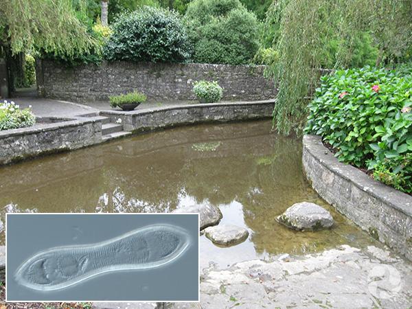 Collage : un bassin entouré de murs de pierre et la photo au microscope d'une diatomée.