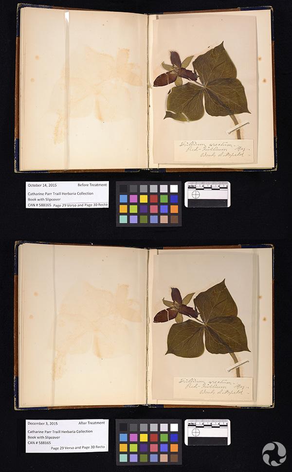 Collage : une page d'un herbier avant et après un traitement de conservation.