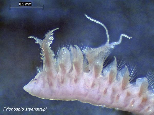 Un vers sous-marin pourvu de petits appendices poilus.