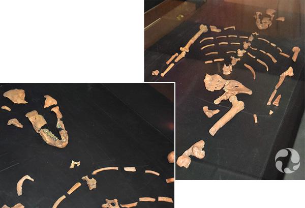 (à gauche) Vitrine avec les restes du squelette de Lucy. (à droite) La mâchoire et du crâne partiel de Lucy.