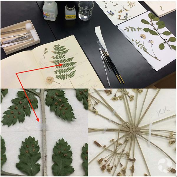 Collage d'images : des adhésifs en pot et des bandelettes de papier japonais sur table; des spécimens d'herbier renforcés vus en plan détaillé.