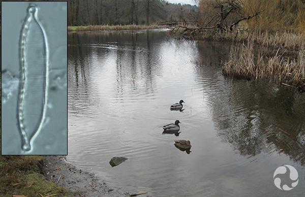 Collage : Canards sur un lac et une diatomée.