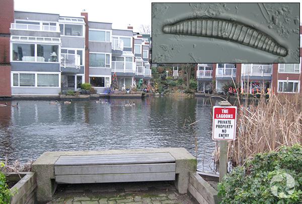 Collage : Lagune bordant des résidences et une diatomée.
