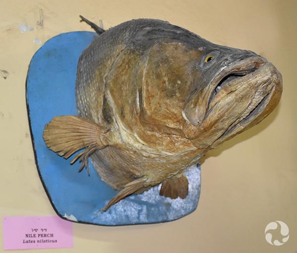 Le tête d'un poisson monté sur un mur.