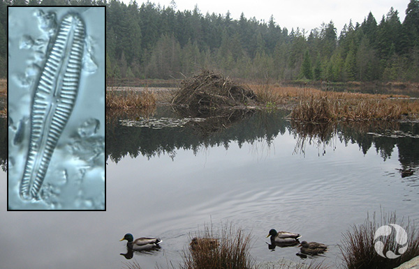 Collage : Un plan d'eau et une diatomée.