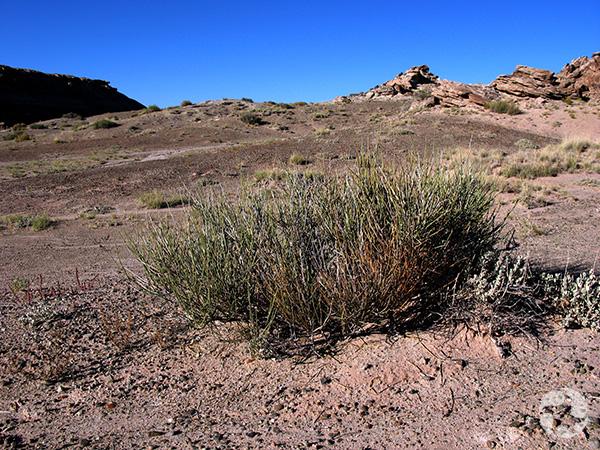 Une talle d'éphédra vert dans le désert.