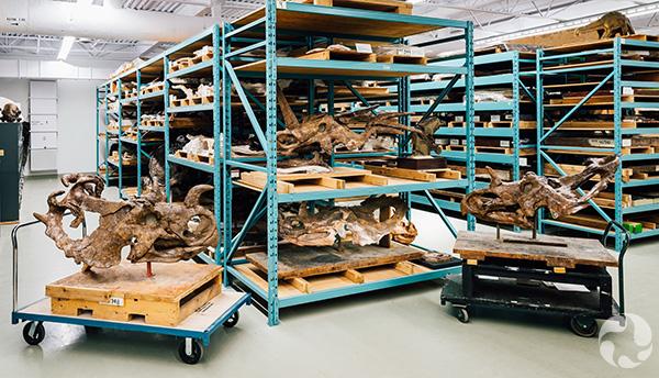 Quatre spécimens de dinosaures sur des étagères.