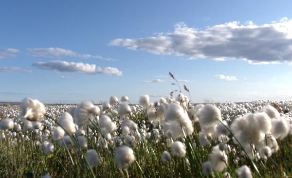 Un champ de fleurs blanches.