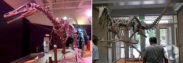 Collage de deux photos de squelettes de dinosaures.