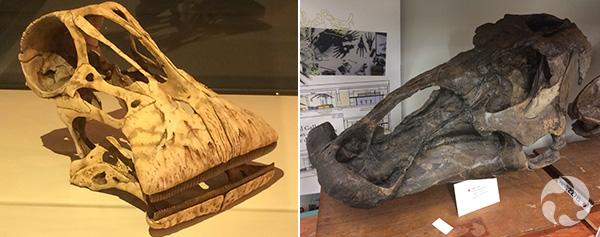 Collage de deux photos de crânes de dinosaures.