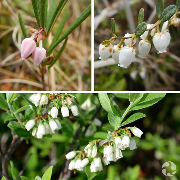 Collage d'images de fleurs : andromède glauque, cassandre caliculé, bleuet du Canada.