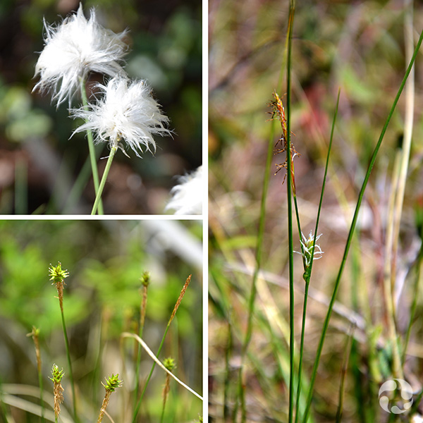 Collage : fleurs de lignettes denses, carex oligosperme, carex maigre.