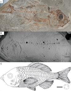 Trois photos d'un poisson fossile.