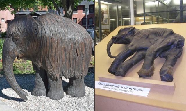 Sculpture du bébé mammouth et restes authentiques exposés en Russie.