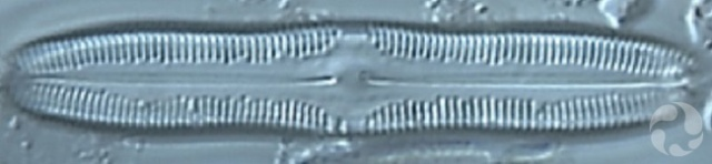 Une diatomée vue au microscope.