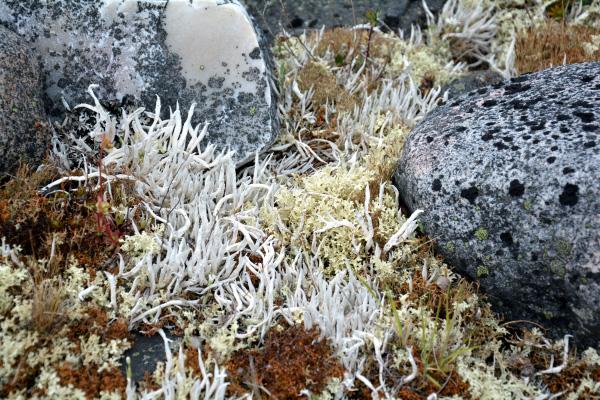 Gros plan de deux espèces de lichens de la toundra.