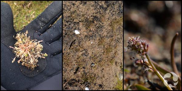 Montage: Une main tenant un spécimen de plante; la même plante au sol.
