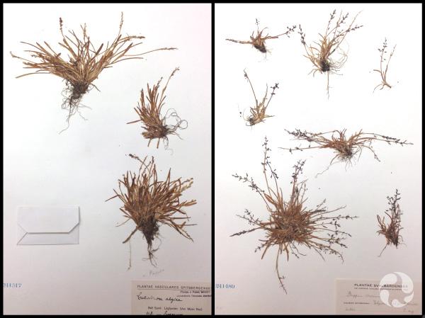Montage: Deux feuilles de papier sur lesquelles sont fixées des plantes séchées.