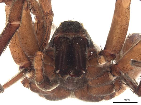 Plan rapproché de la tête et du corps d'une araignée.