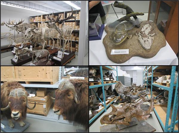 Collage: Gros squelettes de vertébrés; squelette et modèle d'un poisson à pattes; boeuf musqué naturalisé; crânes et os de dinosaures.