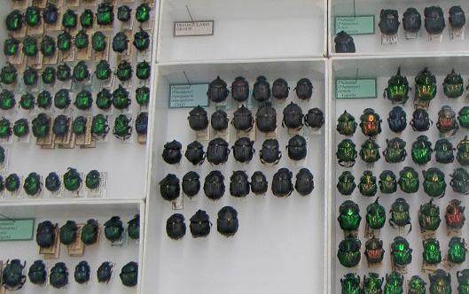 Des rangées d'insectes dans une vitrine.