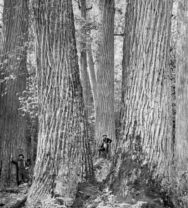 Deux hommes au pied d'immenses arbres.