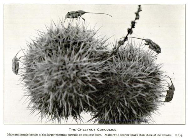 Quelques insectes sur deux fruits piquants.