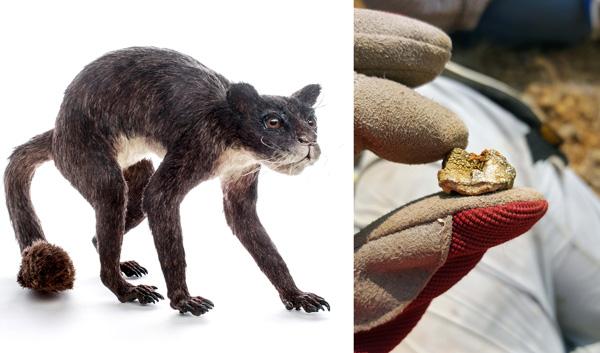À gauche : Un modèle du mammifère primitif. À droite : Dent d'un cheval tridactyle fossile couverte de lichen.