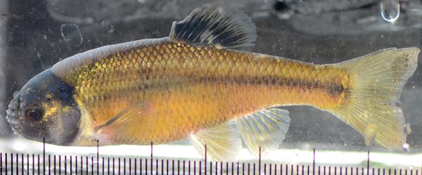 Un poisson méné tête-de-boule.