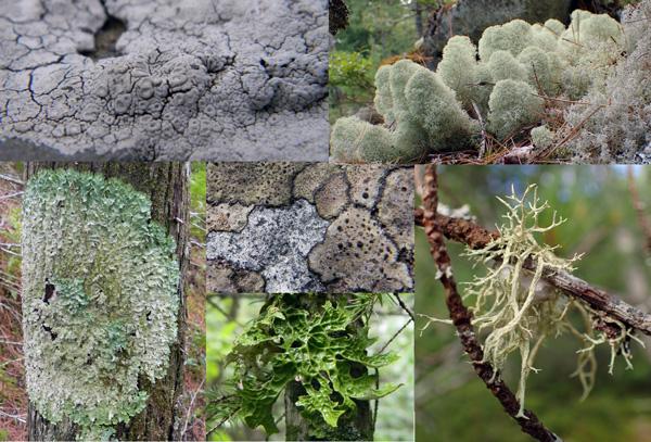 Un collage de lichens