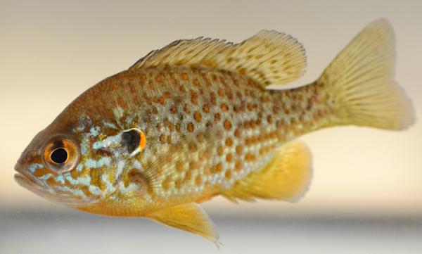 Un poisson crapet-soleil.