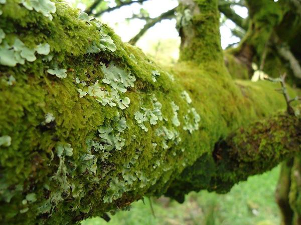 Lichen et mousse sur une branche