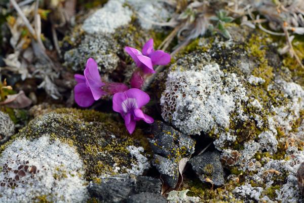une fleur pourpre qui pousse sur la toundra
