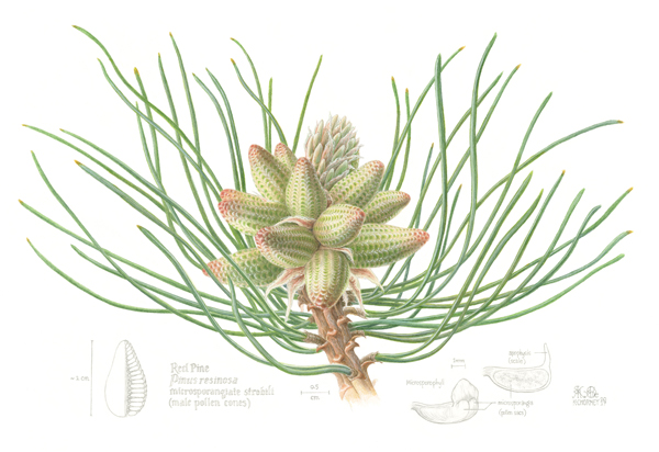 Une illustration botanique de cônes de pin rouge.