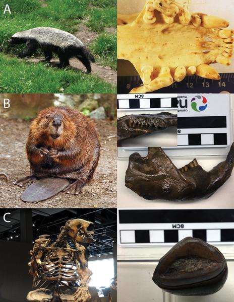 Montage de photos de dents de mammifères modernes et éteints.
