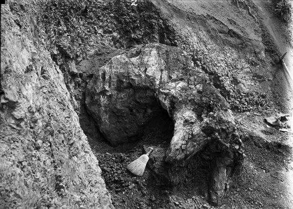 Une photographie noir et blanc d'un spécimen fossile plâtré sur le terrain.