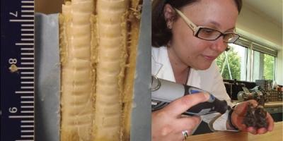 Photo d'une dent d'antilocapre sur laquelle ont été prélevés des échantillons d'émail et photo d'une femme prélevant des échantillons d'émail sur une dent fossile.
