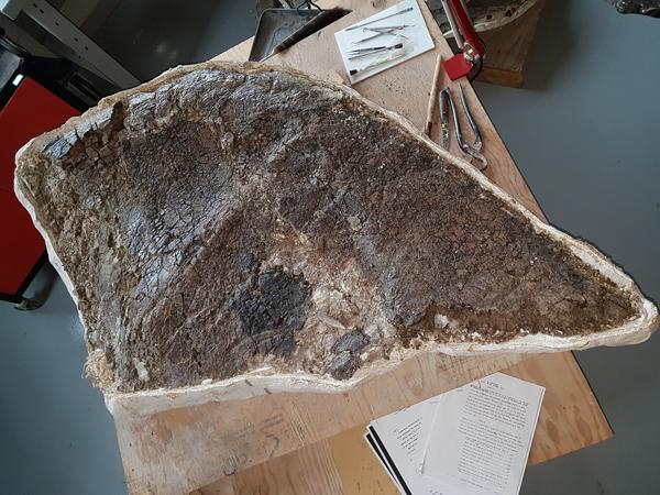 Un spécimen fossile dans sa gaine de plâtre avec un côté complètement exposé.