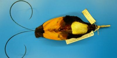 Un spécimen d'oiseau de paradis reposant sur le ventre. Des étiquettes de collection sont attachées à son bec.