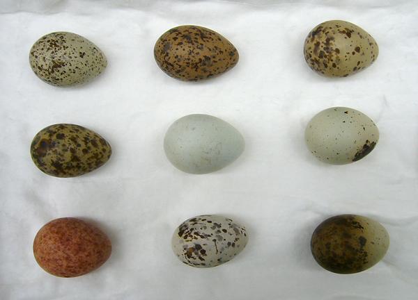 Neuf oeufs de goéland présentant une coloration et des motifs différents.