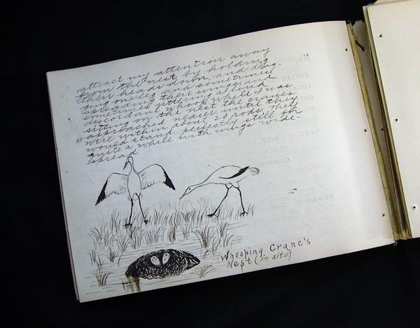 Un vieux carnet de note comportant du texte et un dessin d'un couple de Grues blanches.