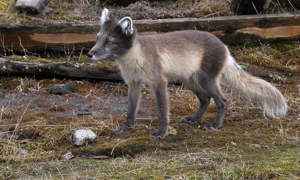 Des renards arctiques rôdent près des campagnols récemment introduits, mais ils ne sont pas habitués à les chasser.