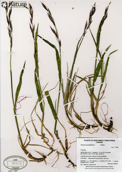 Une image d'un spécimen de plante séchée et pressée montée sur une feuille d'herbier.
